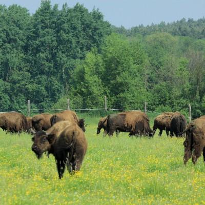 Europese bizons in Bialowieza Nationaal Park